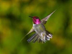 hummingbird solo